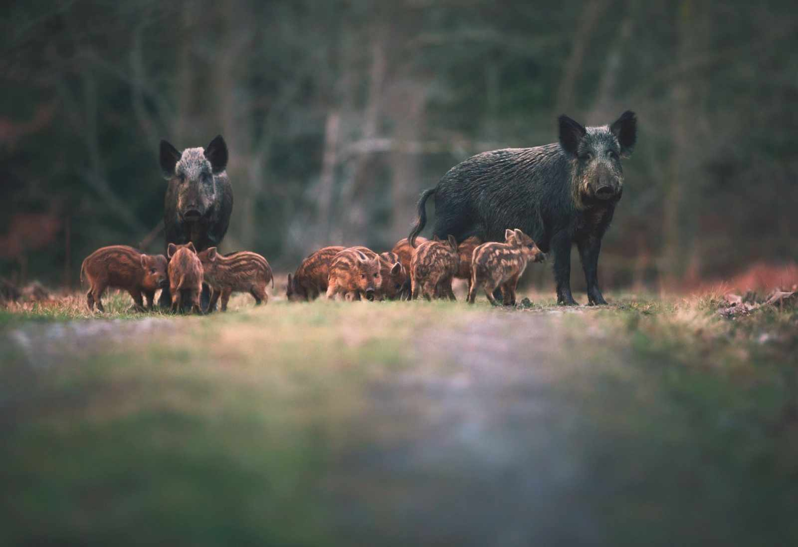 Wild-boar-Forest-of-Dean-8b6b892