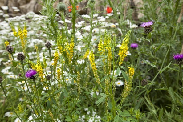 Wild flowers blooming in picturesque cottage gardens