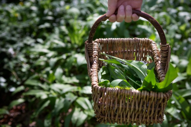 Wild garlic, also known as ramson or bear's garlic grows in abundance in many German forests in springtime.