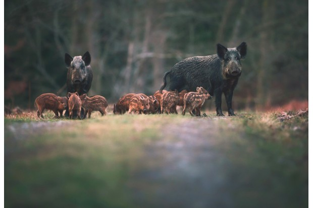 Wild20boar20Forest20of20Dean-c8ca248