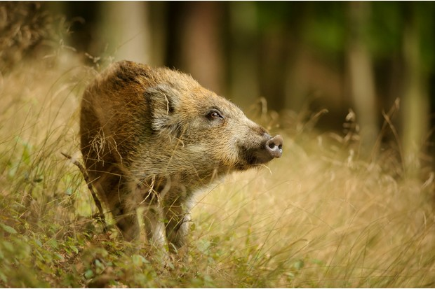 Look out for wild boar on the path verges ©Getty
