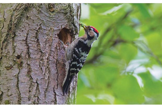 Woodpecker-e6f529a