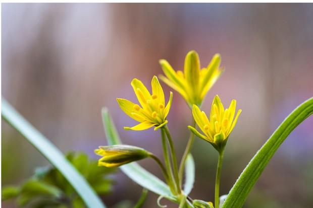 Closeup of glowing springtime flowers Star of Bethlehem