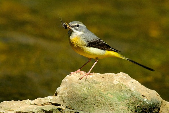 (GERMANY OUT) Gebirgsstelze, Weibchen (Motacilla cinerea) Grey Wagtail, female • Ostalbkreis Baden-Württemberg Deutschland, Germany (Photo by Erich Thielscher/McPhoto/ullstein bild via Getty Images)