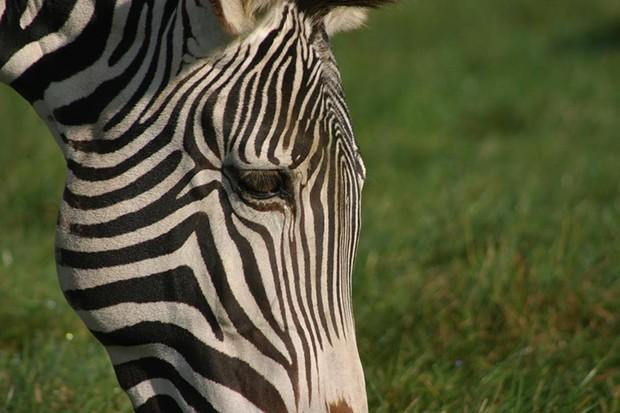 Zebra-9be579f