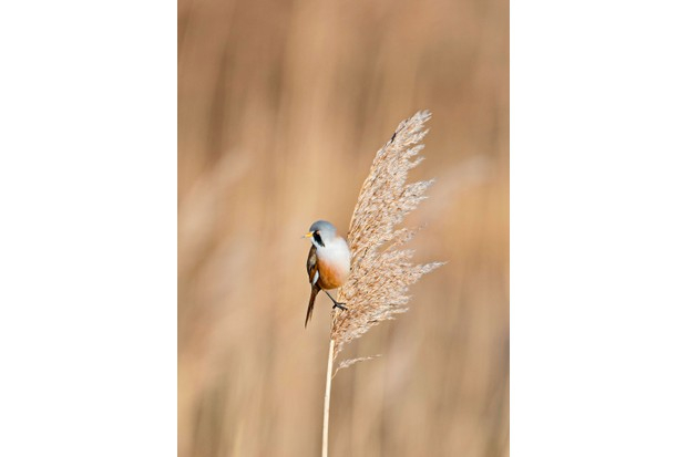 actual-bearded-tit-3d7409f