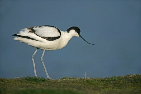 avocet_main-1167302