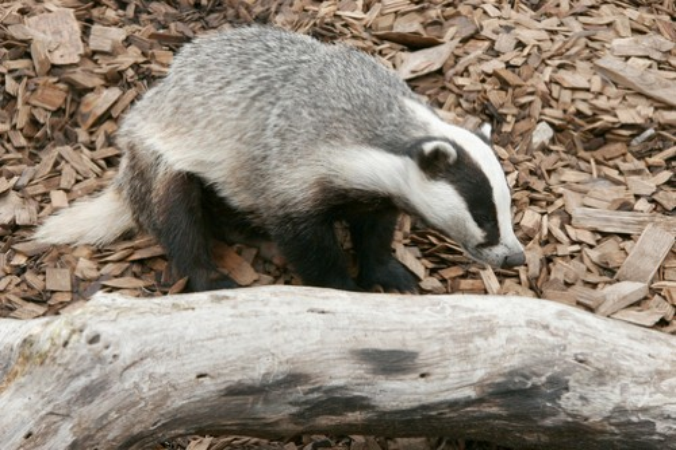 badger-3b02ce2