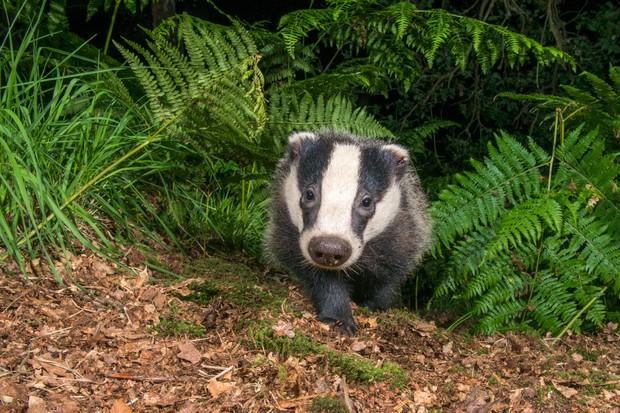 badger-66c74ba
