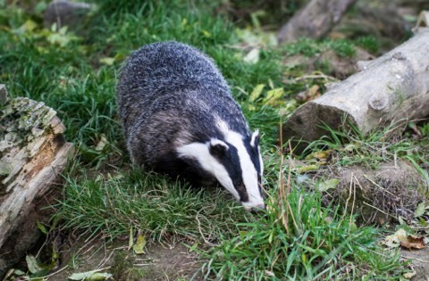badger1_main-1bc5187
