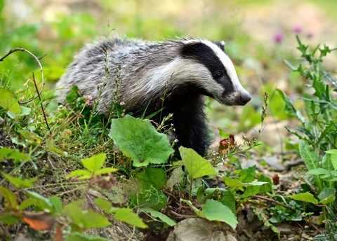 badger_1-3b15572