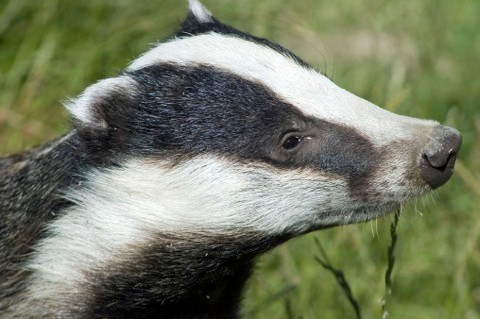 badger_main-fb45aca