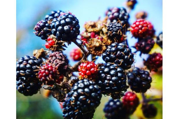 balckberries-dde6802