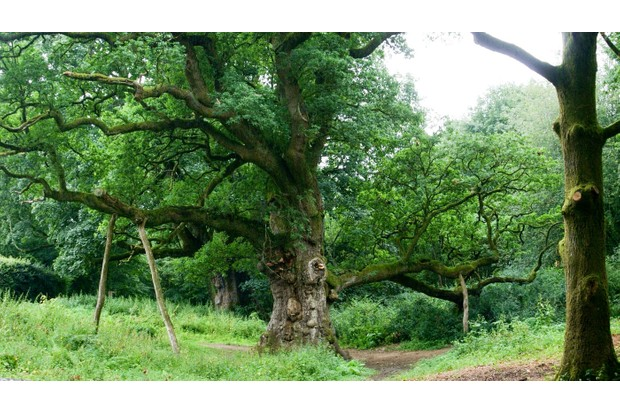 birnam-oak-115735b