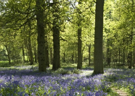 Path through swathes of English bluebells (Hyacinthoides non-scriptus) and wild garlic (Allium ursinum) in the Great Wood at Blickling Hall, Norfolk, photographed in May.