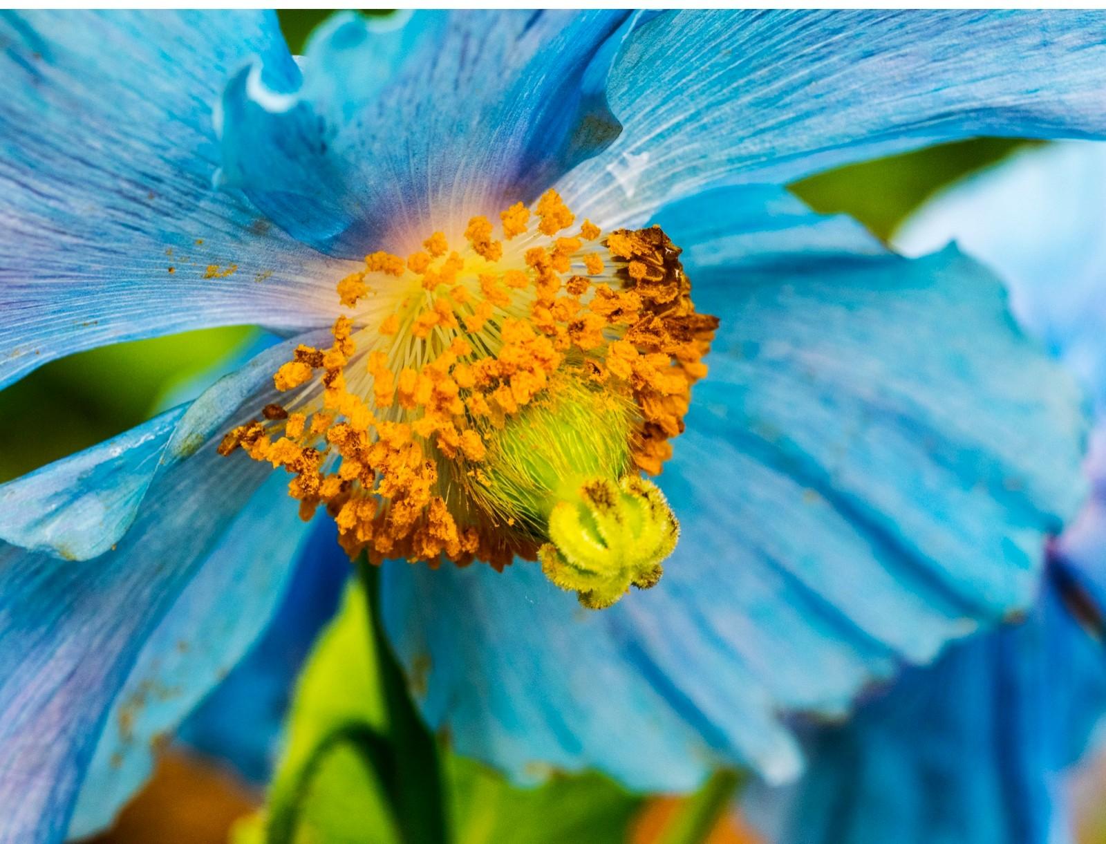 blue-poppy-593061b