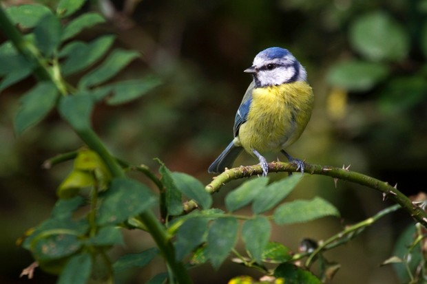 Blue tit (Cyanistes caeruleus / Parus caeruleus) perched in thorn bush