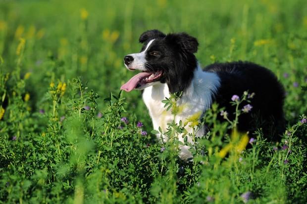 Border collie in a grassy field