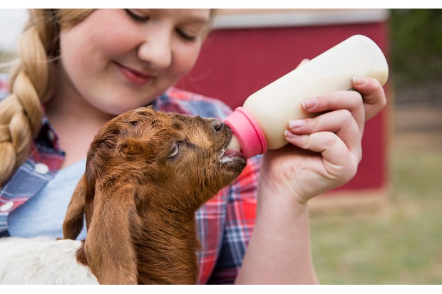 A girl bottle-feeding a baby goat.