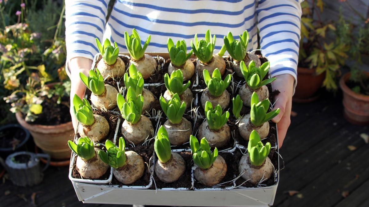 garden-bulbs
