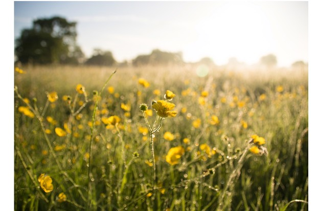 Buttercups proliferate in the meadows around Skyreholme Beck