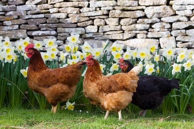 Chickens roaming freely, Oxfordshire, United Kingdom