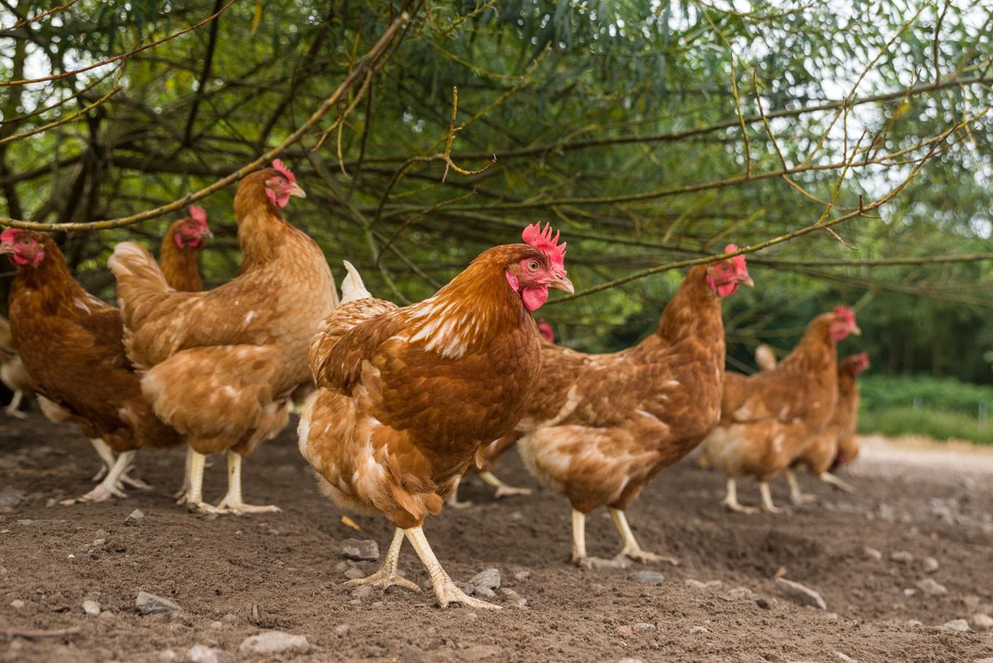 chickens_1-0a2b91b