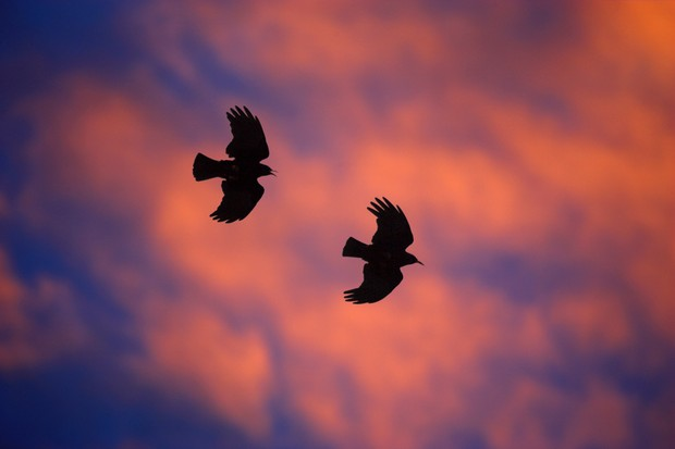 Choughs (pyrrhocrax graculus) pair in flight at dusk, South Stack RSPB reserve, Wales
