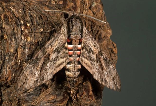 convolvulus-hawk-mothmain-3163d42