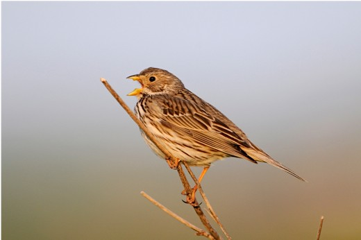Corn bunting Miliaria calandra, male singing from twig, Lemnos, Greece, April