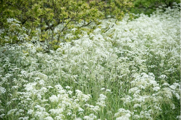 cow-parsley-Sara-Maitland-fa23697