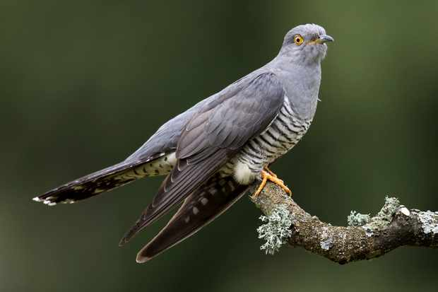 Guide to cuckoos: facts, where to see and why species is in decline