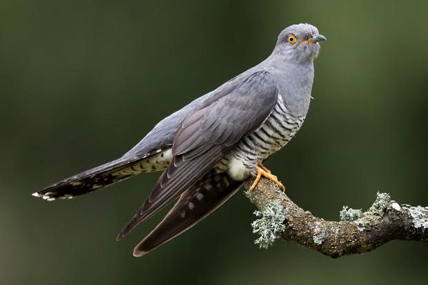cuckoo-0867ece