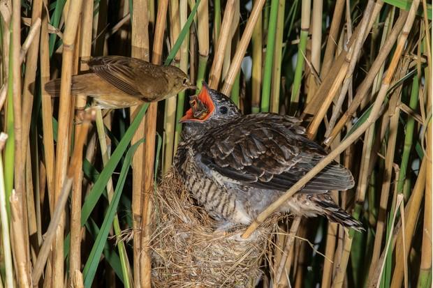 Cuckoo feeding
