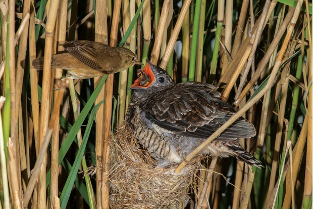 cuckoo-feeding-77988ef