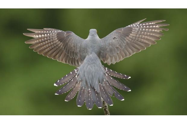 cuckoo-in-flight_0-622c6d0