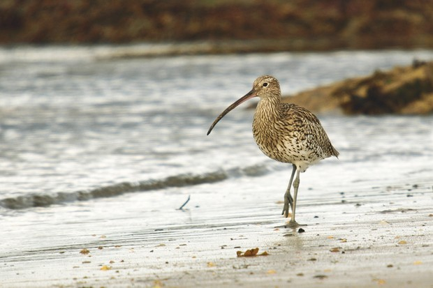 curlew-5a82838