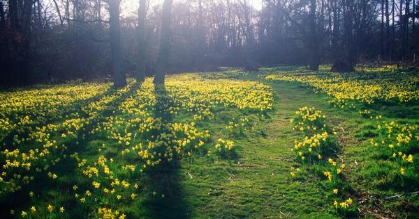Britain's best daffodil walks