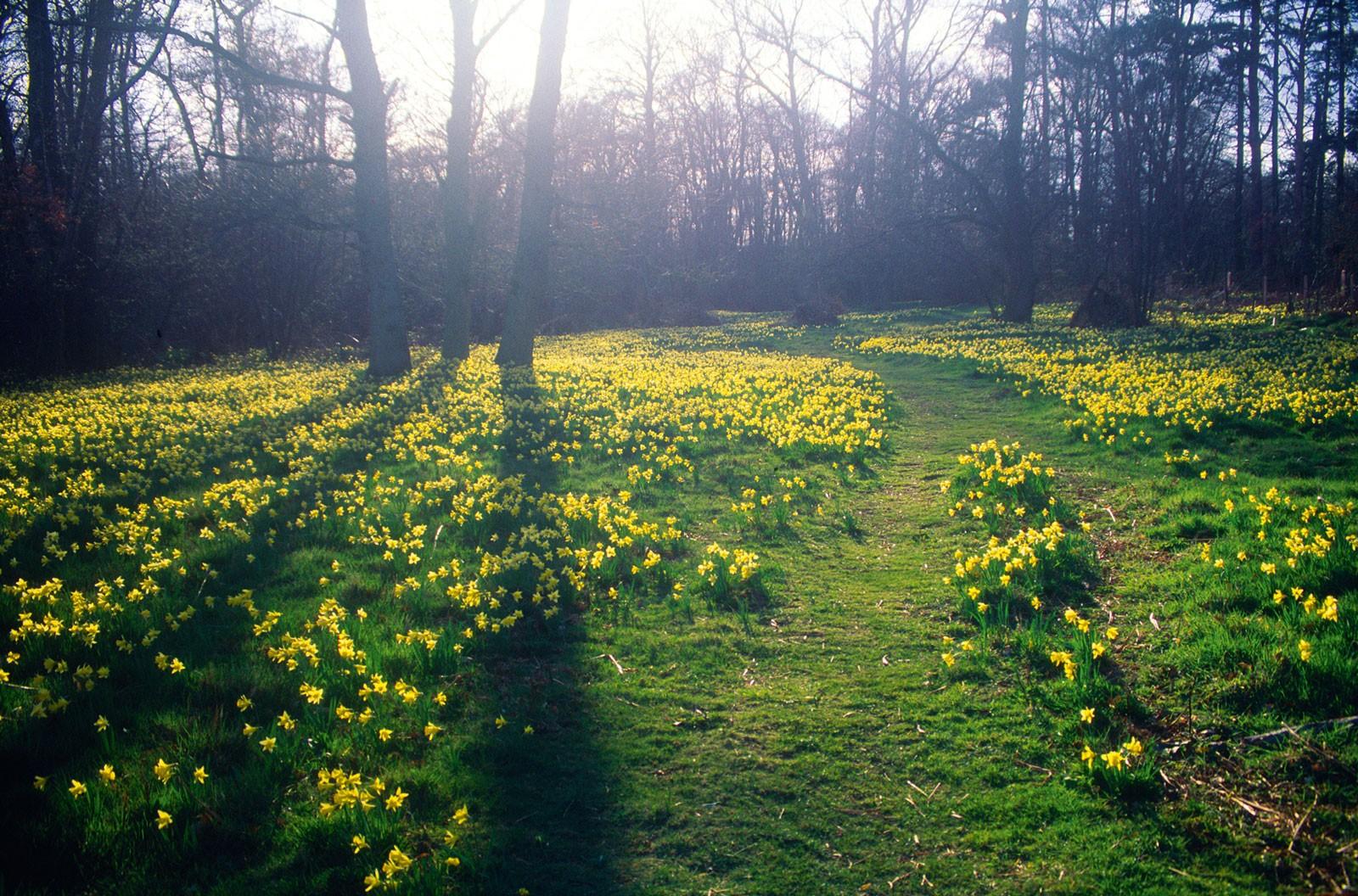 daffodil-butley-suffolk-888d330