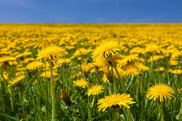 Common dandelions in a field