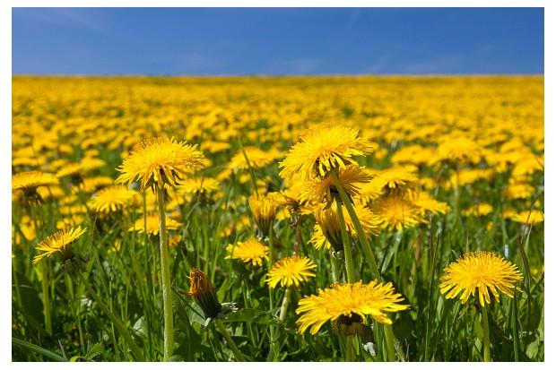 Common dandelions in a field