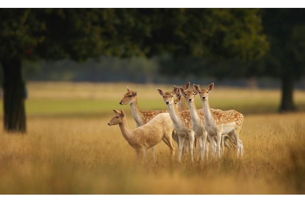 Fallow Deer (Cervus dama). England.