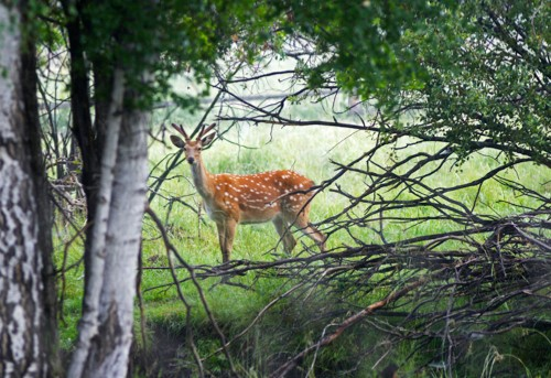 A guide to British deer: where to see them and how to identify species