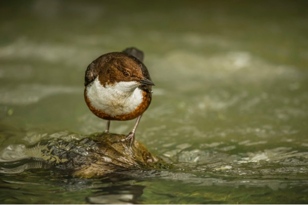 Dippers patrol the river