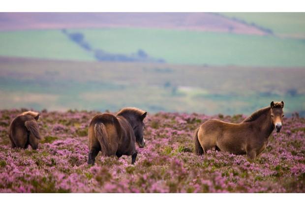 Exmoor ponies roaming wild over the heather carpeted moors in late summer, Exmoor National Park, Somerset, England