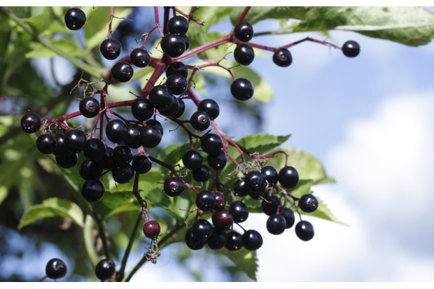 elderberry20tree_0-b7a2f61