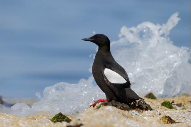 Black guillemot, Cepphus grylle, single bird on rock. Orkney, June 2014