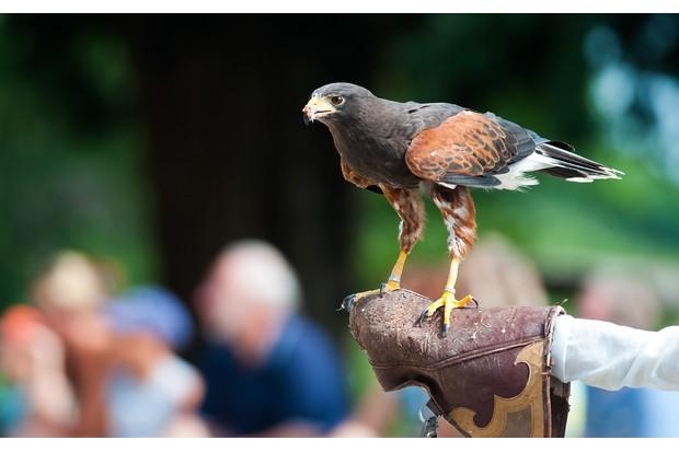 falcon on human hand