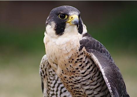 falcon2_web-472a42f