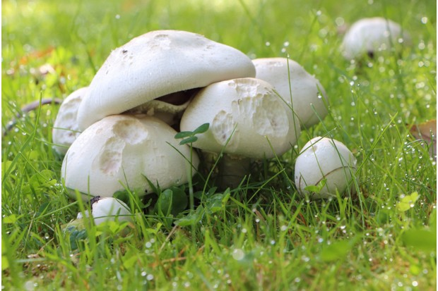Field mushrooms and dewdrops in grass during autumn